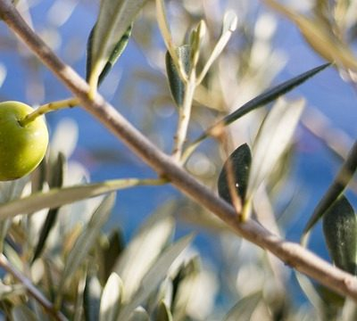 Olives and Olive branches